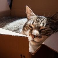 Pourquoi un chat préférera toujours jouer avec une boîte en carton ?